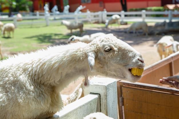 Alimentando la comida a las ovejas blancas