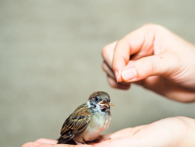 Alimentar a los pájaros del gorrión