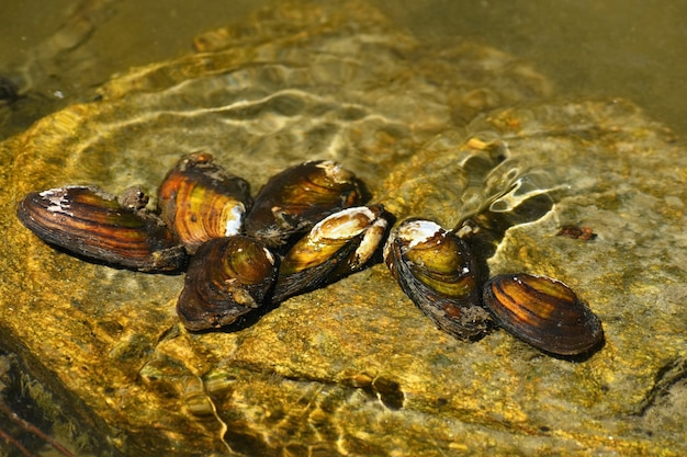 Almejas del río en la roca en un río limpio. anodonta anatina
