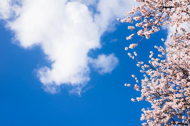 Almendros en flor contra un cielo azul