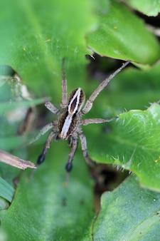 Alopecosa cuneata (araña)