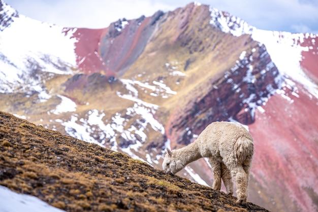 Alpaca blanca aguda comiendo hierba en las montañas arco iris, perú