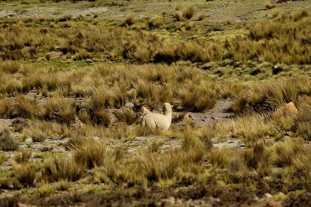 Alpaca pastando en el campo de reserva nacional (reserva nacional)