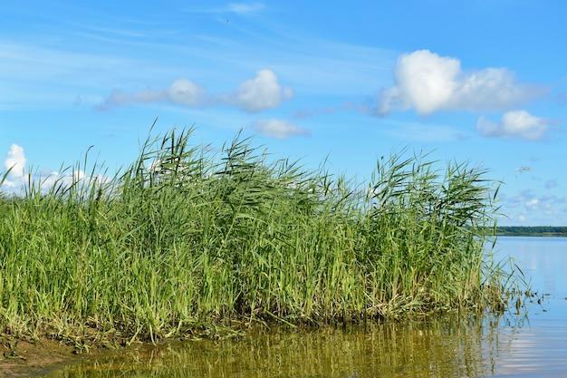 Alta hierba en el lago. amplio lago y bastones.