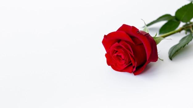 Alto ángulo de rosa con espacio de copia para el día de san valentín