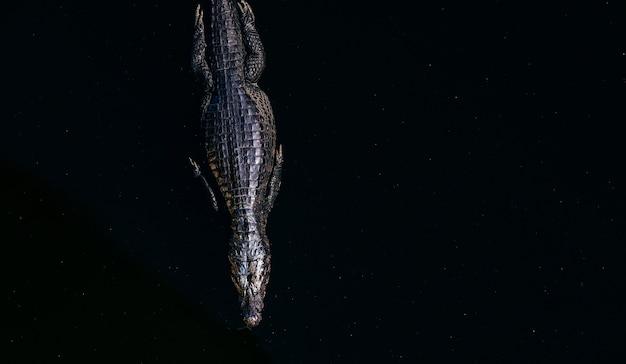Un alto ángulo de vista de un cocodrilo americano nadando en un lago bajo la luz del sol