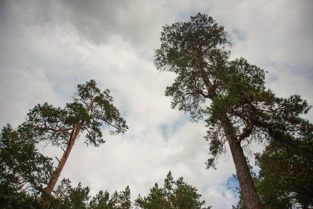 Altos pinos contra el cielo nublado