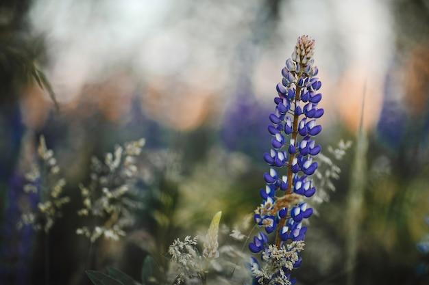Altramuces flores en prado