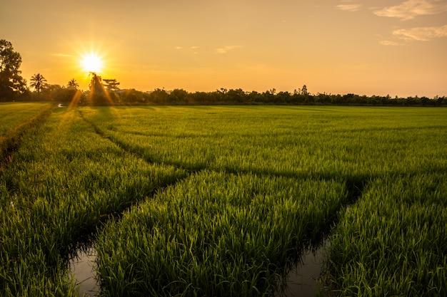 Amanecer en el campo de arroz