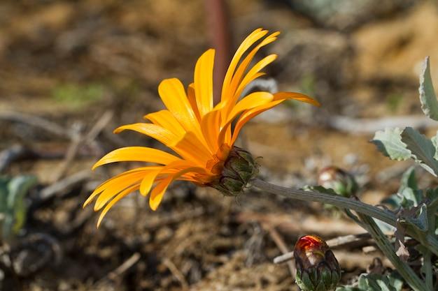 Amanecer raya roja gazania (gazania rigens)