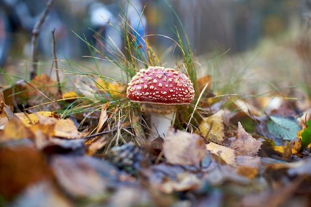 Amanita muscaria roja que crece en la hierba, bosque de otoño