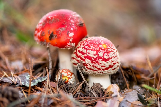 Amanita muscaria, seta venenosa en el fondo del bosque natural.