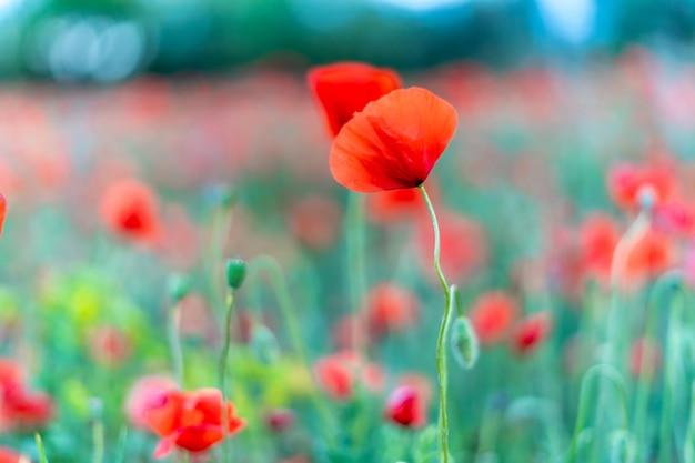 Amapola roja en un campo de amapolas rojas