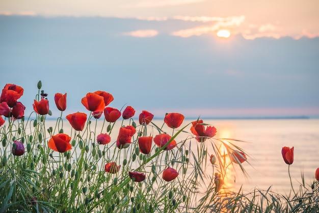 Amapolas en la orilla del mar al amanecer