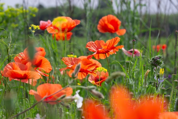 Amapolas rojas brillantes en la hierba verde se mecen con el viento. flores silvestres escarlatas