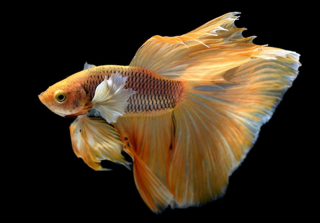 Amarillo dorado colorido vacilante de peces luchadores betta saimese