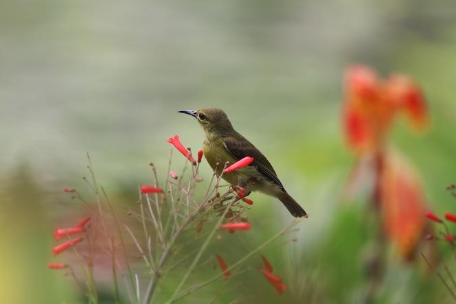 Amarillo-hinchado sunbird lindo animal con rama de petardo