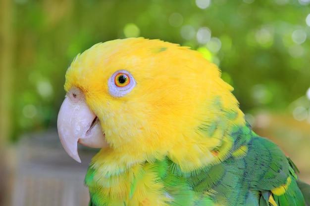 Amazon parrot oratrix con cabeza amarilla