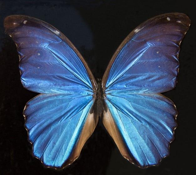 Amazon sur america iridiscente mariposa exótica