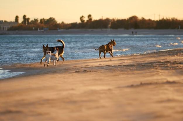 American staffordshire terrier y perro mongrell, podenco, jack russel terrier corriendo en una playa