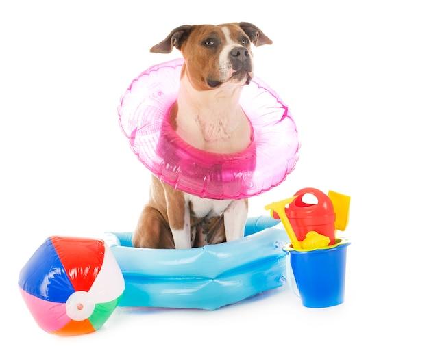 American staffordshire terrier en vacaciones