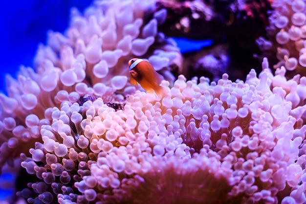 Amphiprion (pez payaso occidental (ocellaris clownfish, false percula clownfish)) está en la anémona. tailandia