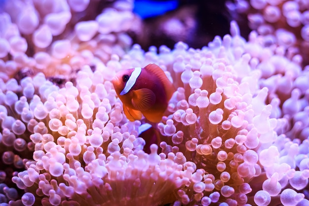 Amphiprion, pez payaso occidental