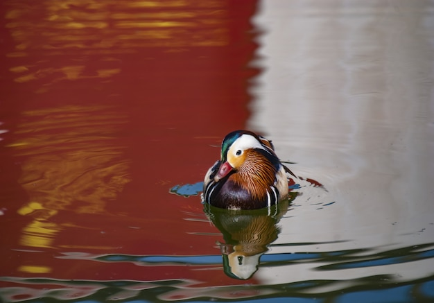 Ánade real con plumas de colores nadando en el lago con el reflejo de los alrededores
