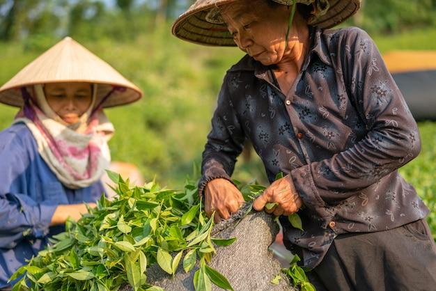 Anciano cosechando