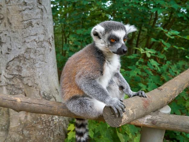 Anillo de lemur de bosque al aire libre