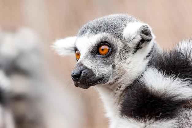 Anillo de lémur de cola