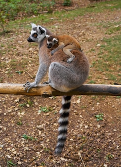Anillo de lemures de cola al aire libre bosque