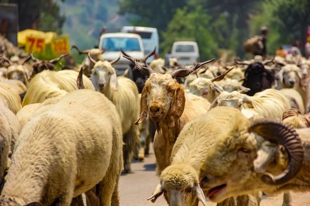 Animal de cabra en la india