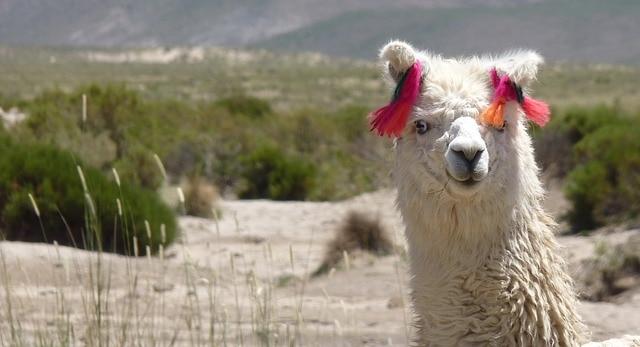 Animal de la llama glama postre camélidos divertido