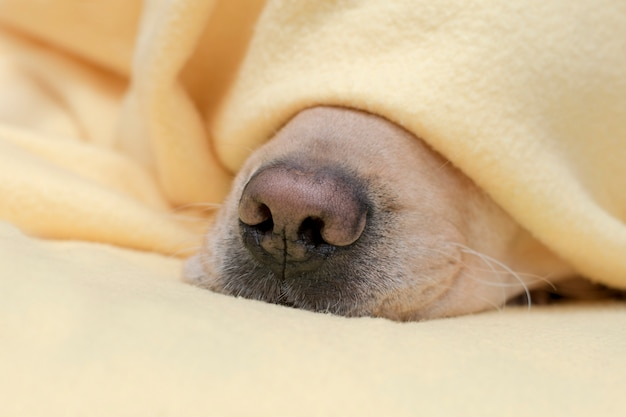 El animal doméstico se calienta debajo de una manta amarilla en clima frío del invierno. nariz de perro cercana.