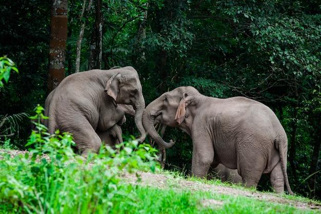 Animales elefantes tailandeses en la naturaleza del bosque en khao yai