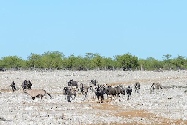 Animales salvajes africanos -gnu, kudu, orix, gacela, cebras, agua potable en abrevadero
