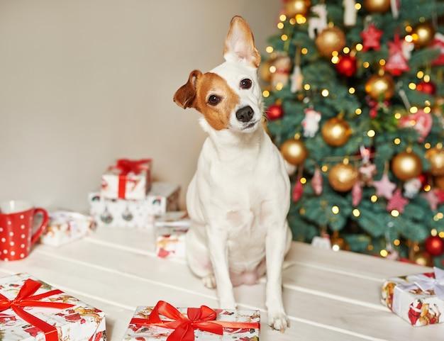 Año nuevo perro jack russell terrier está sentado cerca del árbol de navidad