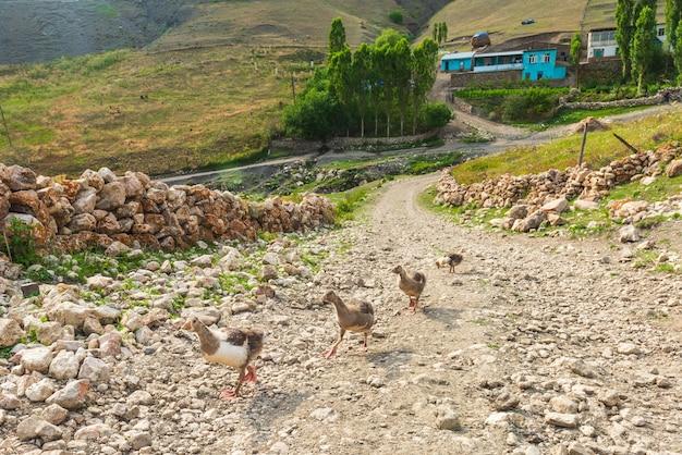Ansarones en un camino de tierra en la aldea