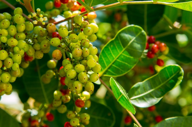Antidesma puncticulatum fruto de tailandia con propiedades medicinales.