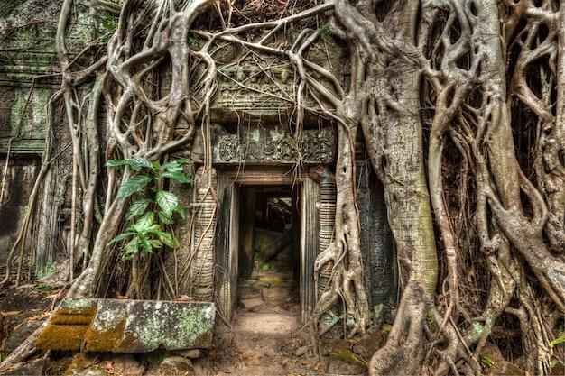 Antigua puerta de piedra y raíces de los árboles, templo de ta prohm, angkor, camb