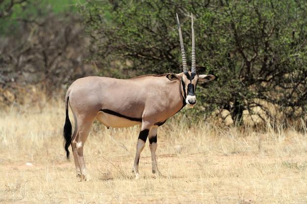 Antílope gemsbok en estacionamiento
