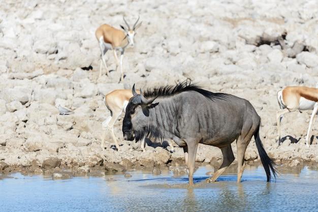 Antílope ñu salvaje en el parque nacional africano