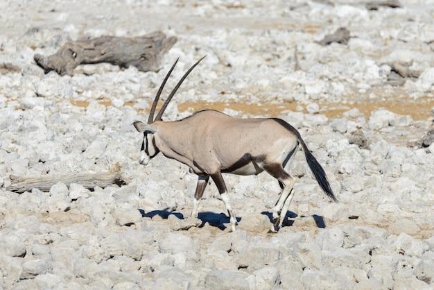 Antílope oryx salvaje en la sabana africana