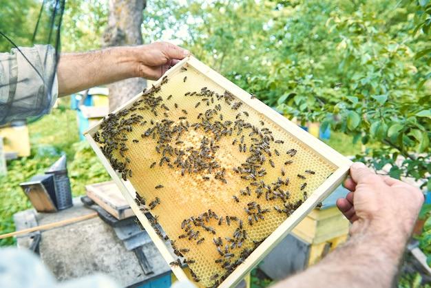 Apicultor masculino sacando panal con abejas de una colmena en su colmenar.