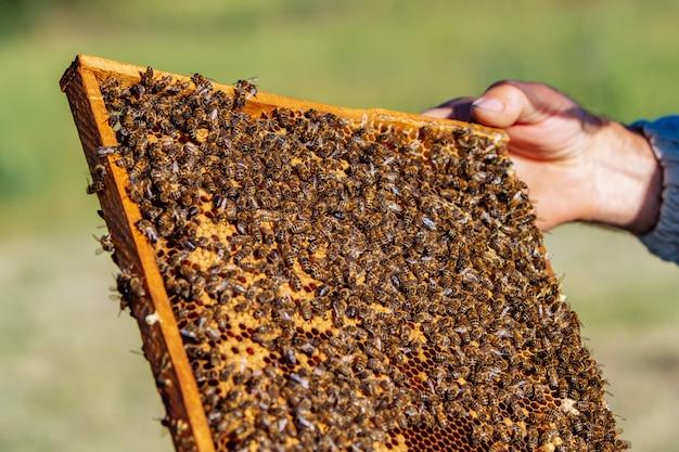 El apicultor sostiene una celda de miel con abejas en sus manos. apicultura. colmenar