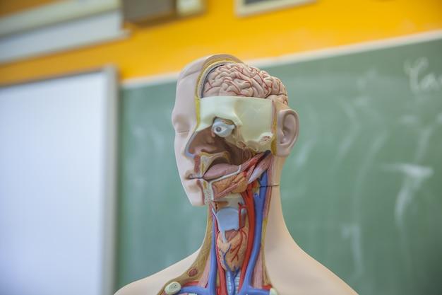 Aprendiendo sobre el cuerpo humano en la clase de biología.