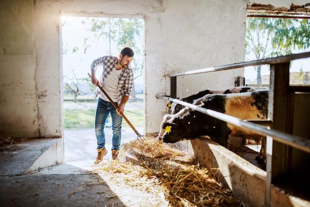 Apuesto granjero caucásico en camisa a cuadros y jeans de pie en establos y alimentación de terneros.