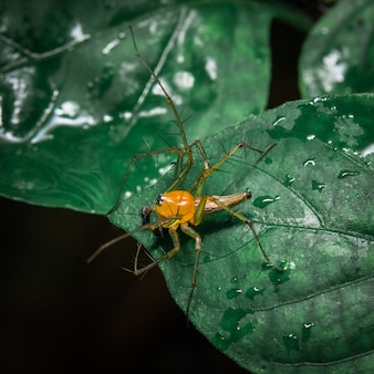 Araña amarilla en la hoja
