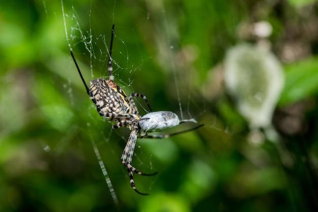 Araña argiope con bandas en su web a punto de comerse su presa, con saco de huevos